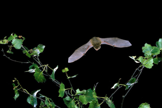 Living with Bats in Leicestershire